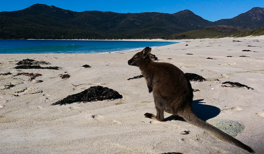 A-wallaby-on-Wineglass-Bay-on-Le-Pique-Nique-walk-pic-Ghislaine-Sweet